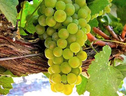 morozostojkie sorta vinograda vyrastut dazhe v sibiri