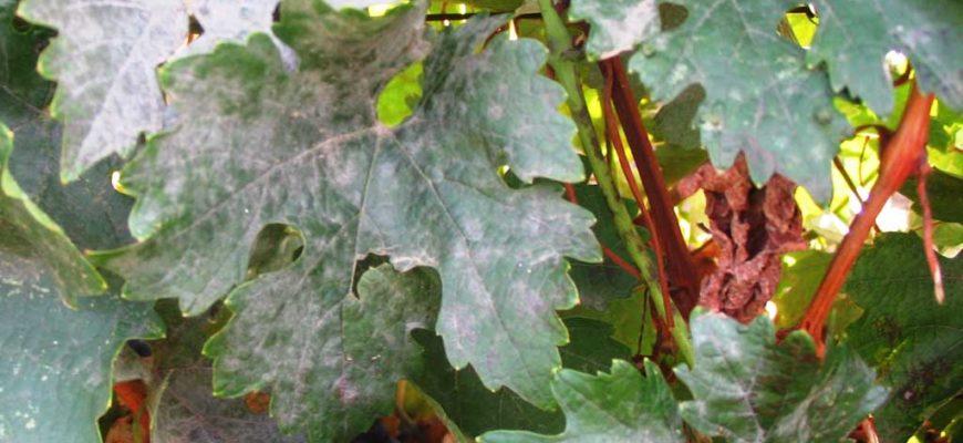 muchnistaya rosa na vinograde kak opredelit i borotsya s oidiumom pravilno