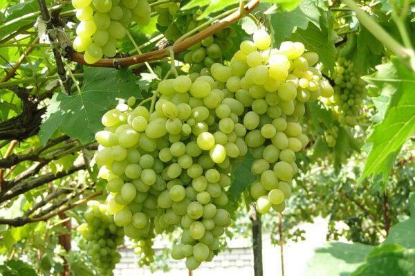 nastoyashhij princ sredi pridvornyh fenomen sredi desertnyh sorta vinograda