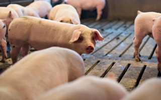 normy vykorma svinej i porosyat v domashnem hozyajstve