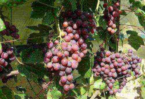 novejshie gibridnye sorta vinograda pavlovskogo e g
