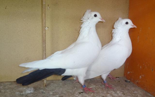 o bakinskih golubyah