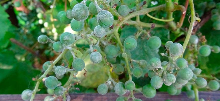 oidium na vinograde