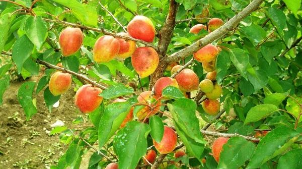 opisanie abrikosa akademik