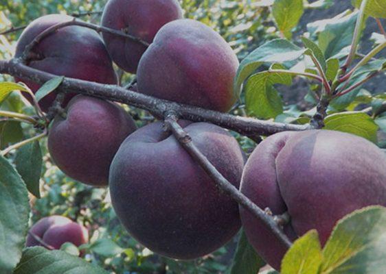 opisanie abrikosa sorta chernyj barhat