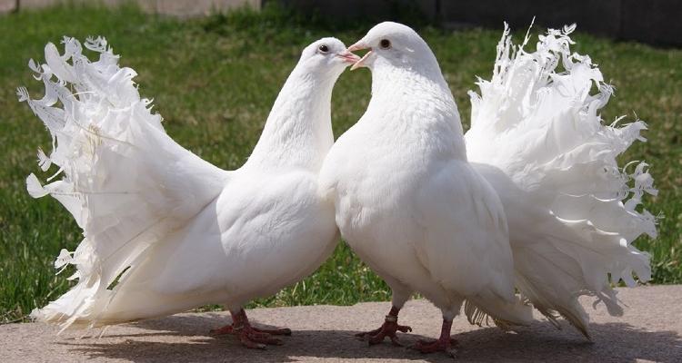 opisanie golubej pavlinov