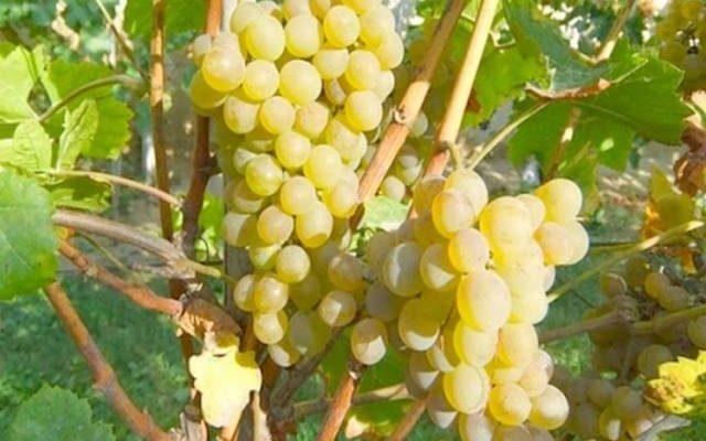 opisanie i harakteristika vinograda kristall