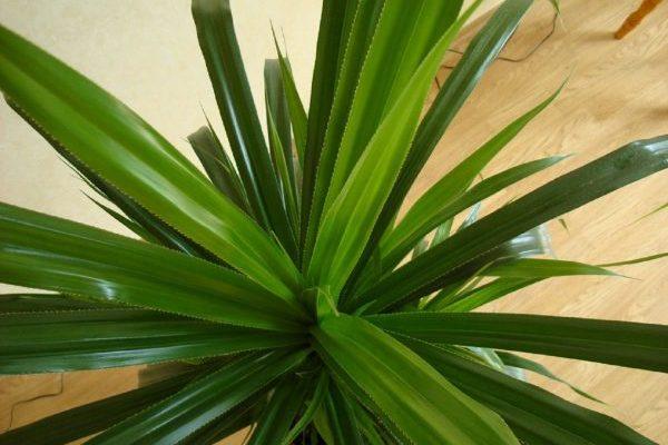 opisanie i osobennosti vintovoj palmy