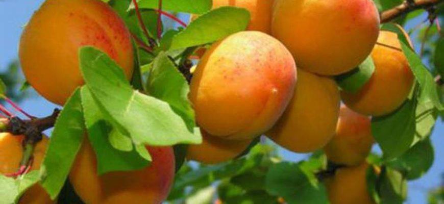 opisanie kichiginskogo abrikosa