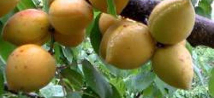opisanie sorta abrikos manitoba
