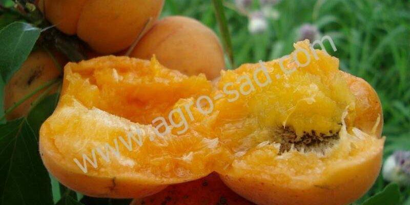 opisanie sorta abrikosa hargrand