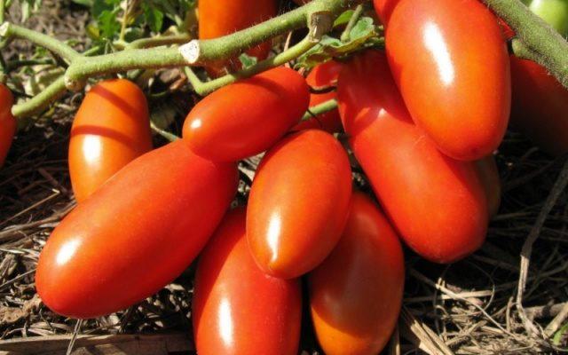 opisanie sorta tomata banan krasnyj