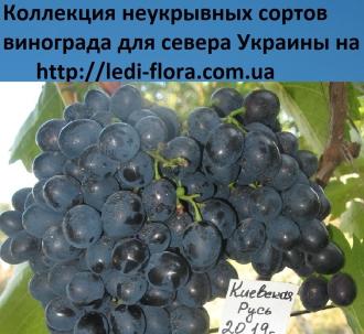 opisanie sorta vinograda kievskogo