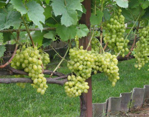 opisanie sorta vinograda tukaj