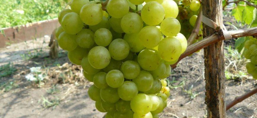 opisanie sorta vinograda zhemchug sabo preimushhestva i nedostatki
