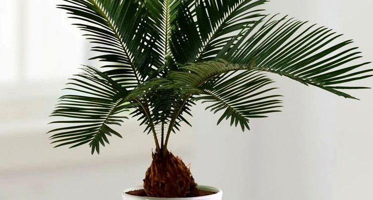 optimalnye usloviya soderzhaniya sagovoj palmy v domashnih usloviyah
