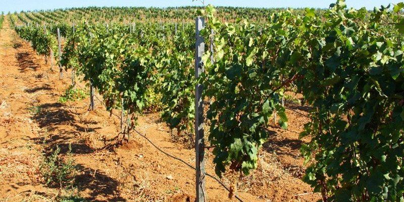 orosheniya vinogradnikov s pomoshhju kapelnogo poliva