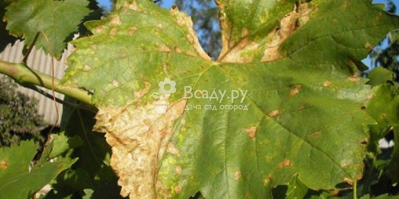 osnovnye bolezni listev vinograda pravila borby