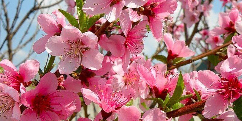 osobennosti cveteniya persika