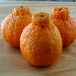 osobennosti gibridov mandarina i apelsina