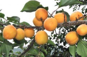 osobennosti manchzhurskogo abrikosa