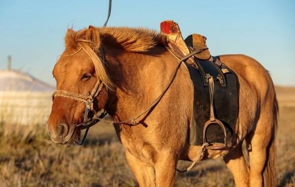osobennosti mongolskoj loshadi
