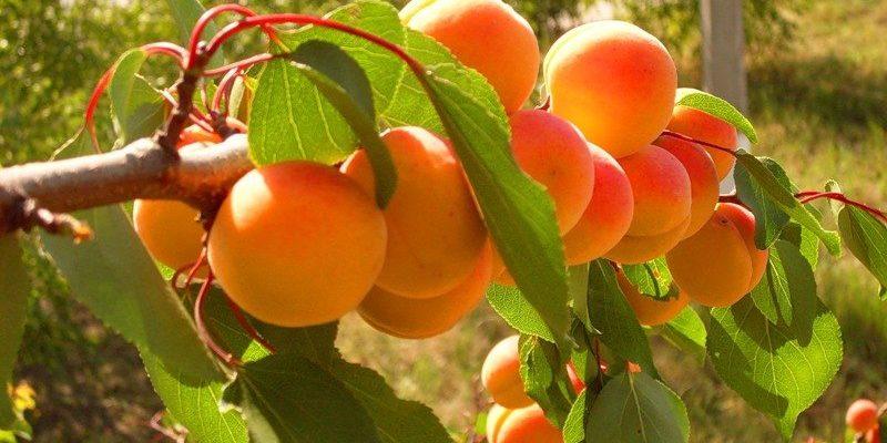 osobennosti privivki abrikosa