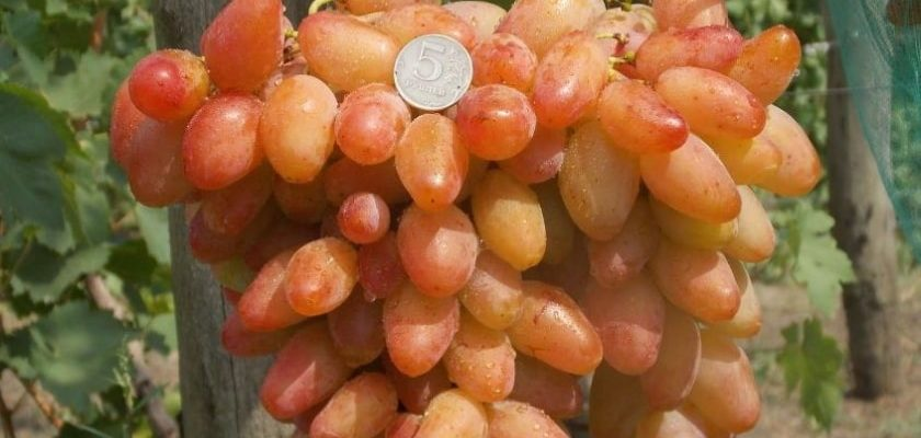 osobennosti vinograda dikson
