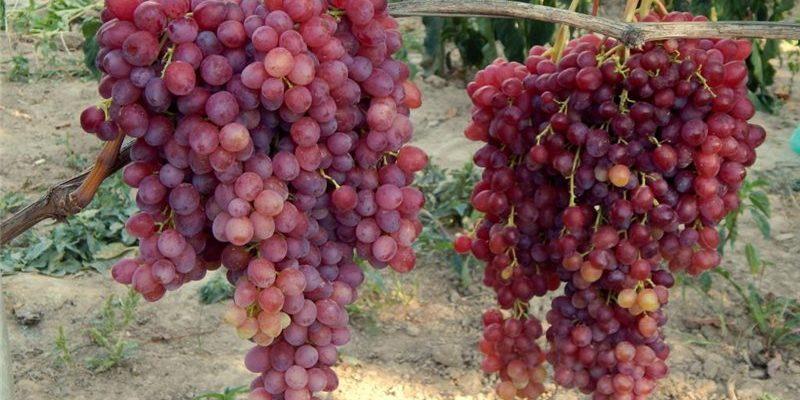 osobennosti vinograda sorta veles