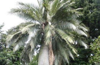 osobennosti vyrashhivaniya slonovoj palmy