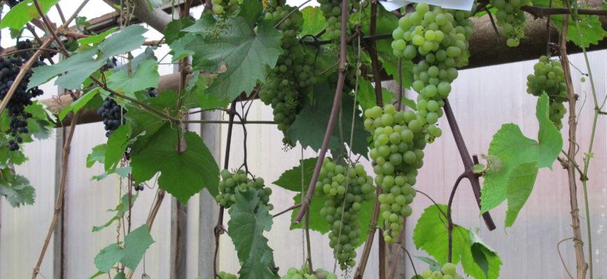 osobennosti vyrashhivaniya vinograda na urale