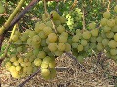 otkrytyj grunt urala dlya vinogradarstva