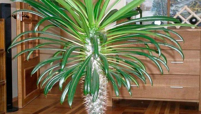 pahipodium ekzoticheskij krasavec v domashnih usloviyah