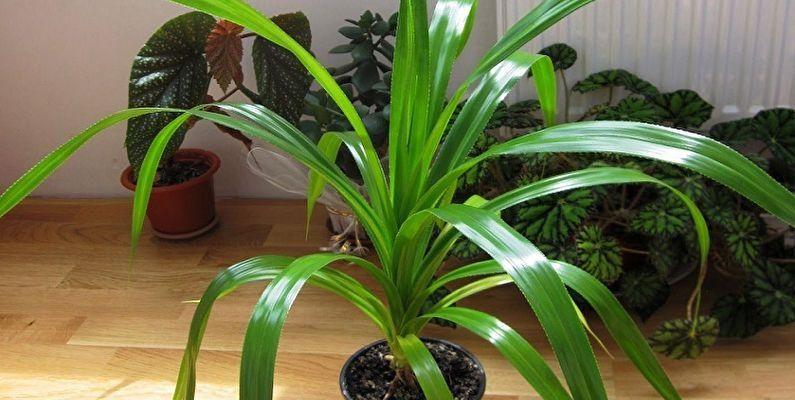 palma pandanus ekzotika rodom iz madgaskara