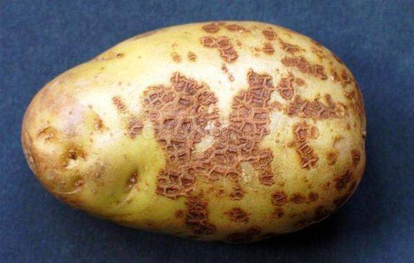 parsha kartofelya chto eto za bolezn i kak s nej borotsya