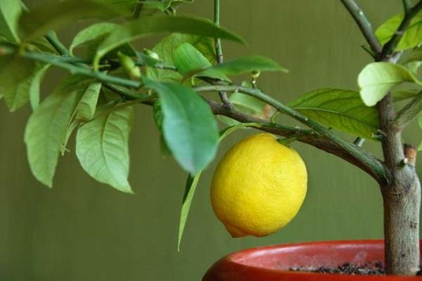pochemu limon ne plodonosit v domashnih usloviyah