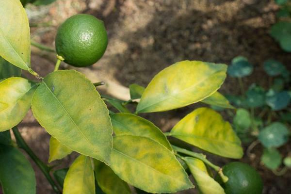 pochemu u domashnego limona bledneet listva