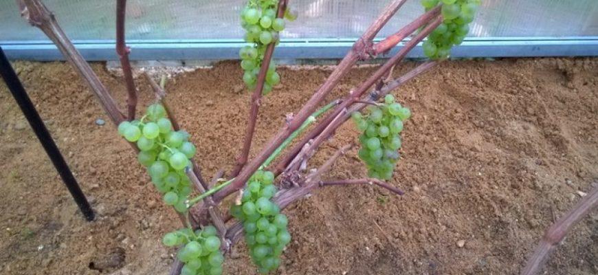 podgotovka k zime vinograda ukryvaem vinograd