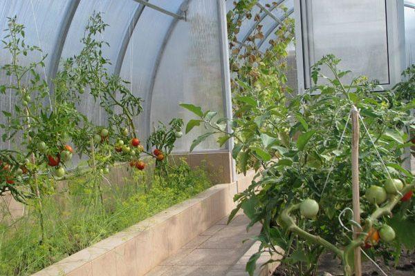 podkormka tomatov v teplice kakie udobreniya nuzhny dlya bogatogo urozhaya