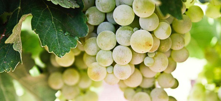 poleznye i vrednye svojstva vinograda