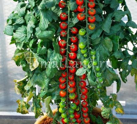 pomidory sorta rapuncel