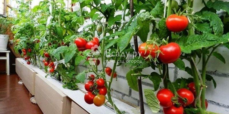pomidory tomaty na balkone uhod i vyrashhivanie poshagovo