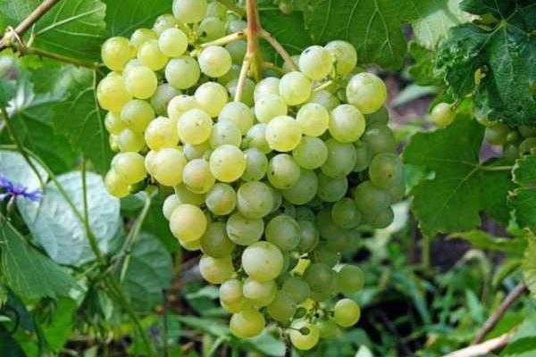 posadim vinograd vkusnyj krasivyj plodovityj