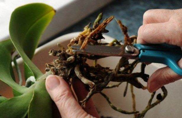 poshagovoe rukovodstvo po peresadke orhidei novaya zhizn yarkogo rasteniya