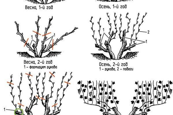 pravila formirovaniya vinograda