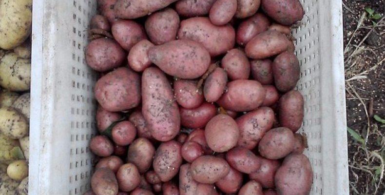 pravila posadki sorta kartofelya bellaroza