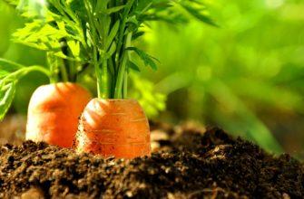 pravila poseva morkovi na zimu
