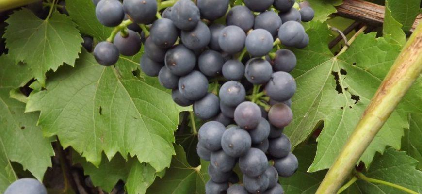 preimushhestva vinograda chernyj zhemchug