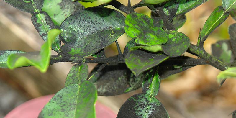 prichiny i lechenie chernogo naleta na listyah slivy