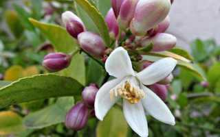 prichiny otsutstviya cvetov na domashnem limone